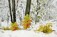 A branch that broke off a maple tree can be seen in the snow along Samss Point Road in Cragsmoor on Oct. 29, 2008.