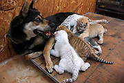 WEIHAI, CHINA - <br /> <br /> Rare Tiger Cubs Nursed By dog <br />  <br />  A dog feeds four tiger cubs born by a 5-year-old Bengal tiger  on June 14, 2017 at Rongcheng County in Weihai, Shandong Province of China. Four tiger cubs, two golden tigers, a snow tiger, a white tiger, are born at the Xixiakou Wildlife Zoo. Working Staff of the Xixiakou Wildlife Zoo found a dog to feed the four baby tigers.  <br /> ©Exclusivepix Media