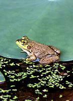 Frog on a Lotus Leaf  Irmo, South Carolina photo by  Catherine Brown
