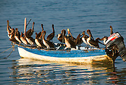 MEXICO, BAJA CALIFORNIA SOUTH La Paz, pelicans on fishing boat in La Paz harbor