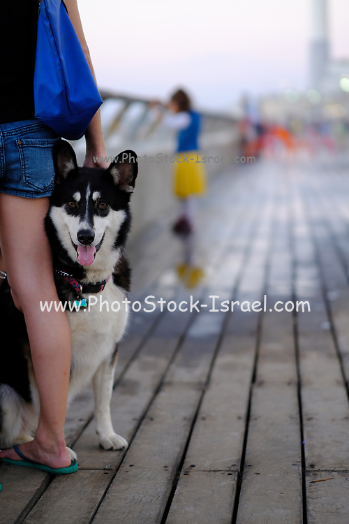Siberian Husky with its owner