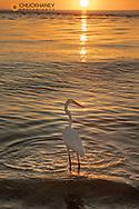 Great egret at sunset on Sanibel Island, Florida, USA