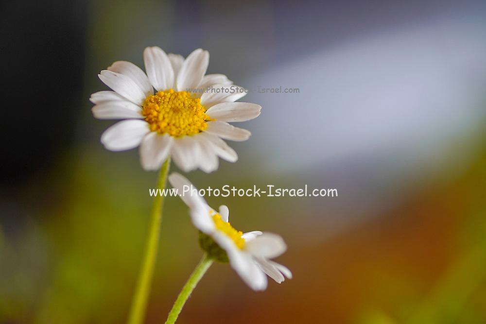 close up soft focus of a white daisy