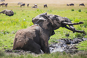 A large male elephant with big tusks (Loxodonta african) rolling in the mud ,Amboseli, Kenya, Africa