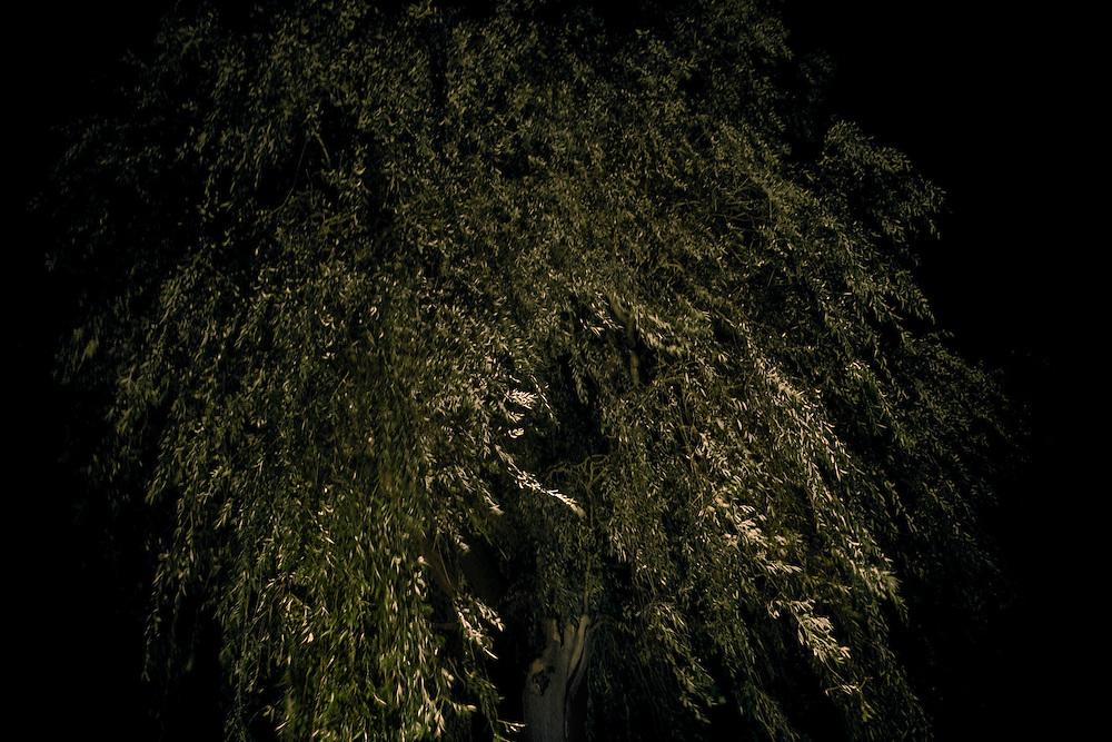 Willow Tree at night