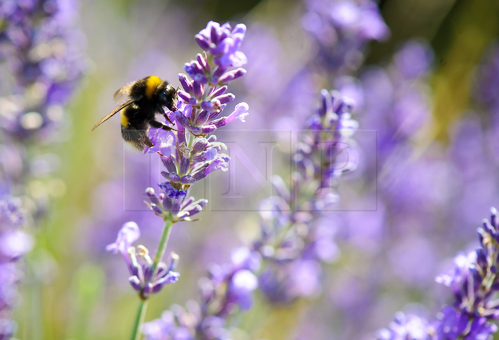 © Licensed to London News Pictures. 26/07/2013 Hitchin, UK. A bee lands on some lavendar at Hitchin Lavendar, Cadwell Farm, Hitchin, Hertfordshire. The Lavendar, now in full bloom, has been farmed at Cadwell for more than one hundred years and for five generation, farming over 12 acres of lavender or 17 miles of rows. In the past the small market town of Hitchin was one of only two major Lavender growing areas in the country.  At its height in the nineteenth century a hundred acres were grown around the town and it soon became renowned nationally. Each lavender field could continually produce abundant crops for five years before being uprooted and burned, providing a fragrant and captivating aroma that blew across the whole town.<br /> Photo credit : Simon Jacobs/LNP