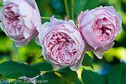 Rosa 'Geoff Hamilton' - English Rose by David Austin. Clover Cottage