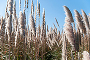 Reeds blow in the wind at Aveiro Lagoon, Portugal Along the N327 between Furadouro, Ovar and Aveiro