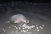 olive ridley sea turtle, Lepidochelys olivacea, returning to sea after nesting, crawls over eggs of another turtle which were dug up by later-nesting turtles during  the arribada, or mass nesting, Playa Ostional, Costa Rica (Pacific)