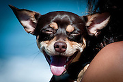 A small dog smiles as he is held by his owner. Missoula Photographer
