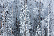 Hoarfrost and snow covers spruce and birch trees in Southcentral Alaska. Winter. Afternoon.