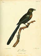 racket-tailed treepie (Crypsirina temia) is an Asian treepie, a member of the crow family, Corvidae. from the Book Histoire naturelle des oiseaux d'Afrique [Natural History of birds of Africa] Volume 2, by Le Vaillant, François, 1753-1824; Publish in Paris by Chez J.J. Fuchs, libraire 1799