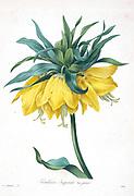 19th-century hand painted Engraving illustration of a Fritillaria imperialis, the crown imperial, imperial fritillary or Kaiser's crown flower, by Pierre-Joseph Redoute. Published in Choix Des Plus Belles Fleurs, Paris (1827). by Redouté, Pierre Joseph, 1759-1840.; Chapuis, Jean Baptiste.; Ernest Panckoucke.; Langois, Dr.; Bessin, R.; Victor, fl. ca. 1820-1850.
