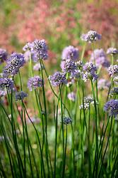 Allium 'Summer Beauty' syn. Allium lusitanicum, Allium senescens subsp. montanum, Allium fallax subsp. montanum, Allium montanum Schmidt, Allium serotinum. Portuguese allium