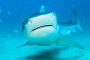 A tiger shark, Galeocerdo cuvier, swims offshore Jupiter, Florida, United States