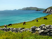 Cows graze ina field on Slea Head, West of Dingle Town in County Kerry ireland with The Blasket Islands in the background.<br /> Photo: Don MacMonagle - macmonagle.com
