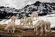 Alpaca, herded by the Q'eros, search for food below melting snow high in the Cordillera de Paucartambo, Andes Mountains, Peru on September 15, 2005. The Q'eros, a Quecha people living in the Peruvian Andes, are considered the last direct descendants of the Incas and proudly maintain many of the ancient traditions.