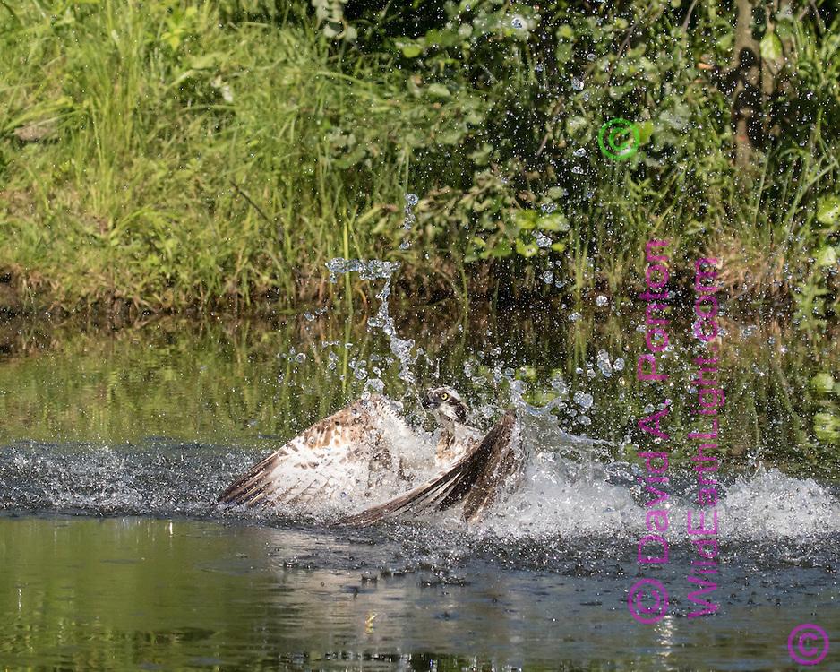 Back sweep as the splash comes down, osprey powers up, © David A. Ponton