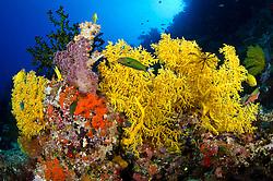 Crescent Wrasse, Thalassoma lunare, and Golden Damselfish, Stegastes aureus, surrounded by vibrant soft corals. Vatu-i-ra, Bligh Water, Fiji, Pacific Ocean