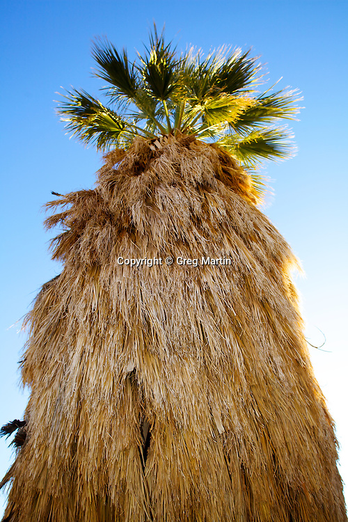 A California Fan Palm Tree in Anza-Borrego State Park, California