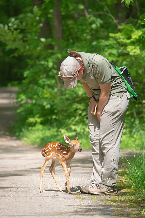White-tailed deer fawn emerged from woods and approached park naturalist with curiosity on hiking trail. Moments later, the fawn returned unharmed to the woods to await its mother. Very young fawns may at times exhibit the behavior of fearlessly  approaching large mammals of other species. Photographed at Blendon Woods Metro Park, Columbus.