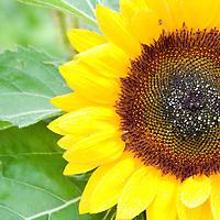 organic sunflower