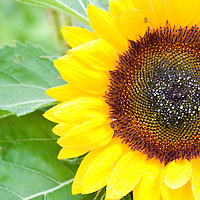 organic sunflower