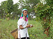 Daw Mu Htan picking cotton in the ethnic Kayan village of Lo Ka Na village, Panpet, Kayah State, Myanmar on 13th November 2016. Myanmar is one of the most ethnically diverse countries in Southeast Asia with 135 different indigenous ethnic groups. There are over a dozen ethnic Karenni subgroups in the region including the Kayan who are perhaps the best known due to the traditional practice of the Kayan women extending their necks with brass rings