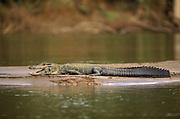 Black Caiman on Riverbank<br />Melanosuchus niger<br />Manu River, Manu National Park, PERU  South America<br />RANGE: Throughout Amazon Basin and Guianas