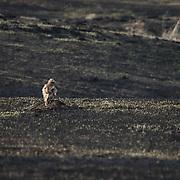 Unidentified bird of prey sitting in the dark ashes of a burnt grassland. Ninepipe National Wildlife Refuge, Montana