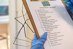 © Licensed to London News Pictures. 27/12/2019. Bristol, UK. The annual animal census is carried out at Bristol Zoo. Picture in Bug World of a Giant Vietnamese Stick Insect, scientific name phryganistria heusii yentuensis, which was only discovered in 2014. Photo credit: Simon Chapman/LNP.