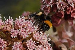 Groot hoefblad mannelijke bloem, Petasites hybridus
