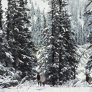 Elk (Cervus canadensis) bulls pause at the edge of a snowy timber during fall rut in Canada.