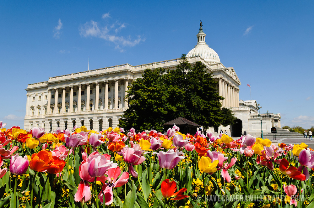 Colorful, multi-colored tulips in full spring bloom in front of the US Capitol Building in Washington DC on a sunny day. Both the Capitol Building in the background and the tulips in the foreground are in sharp focus.