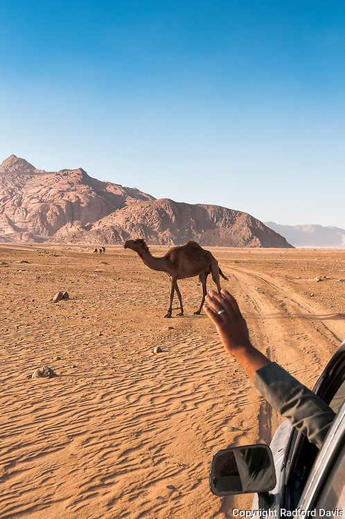 A drive through the desert of Jordan, with a camel in view
