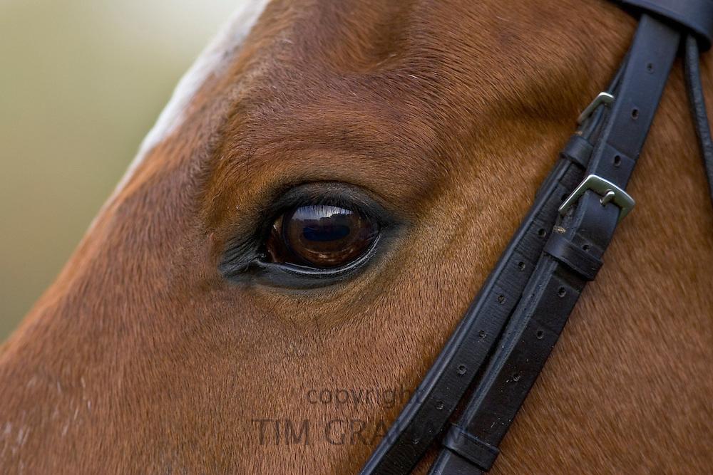 Cleveland Bay horse, Oxfordshire, United Kingdom