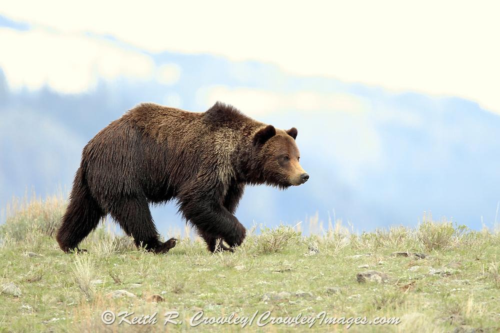Grizzly bear boar in open habitat