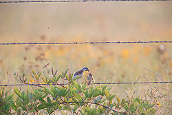 Male Dickcissel feeding female while perched on barbed wire fence on Daphne Prairie, a remnant of the Blackland Prairie, Mount Vernon, Texas, USA.