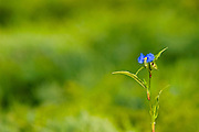 anogollis arvensis, Scarlet Pimpernel, Israel