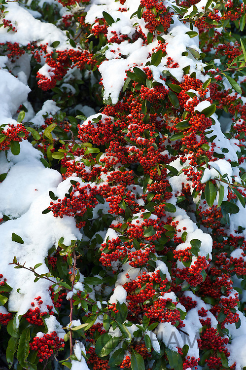 Snow on evergreen Pyracantha red column firethorn bush in snowy weather in the village of Swinbrook, The Cotswolds, UK