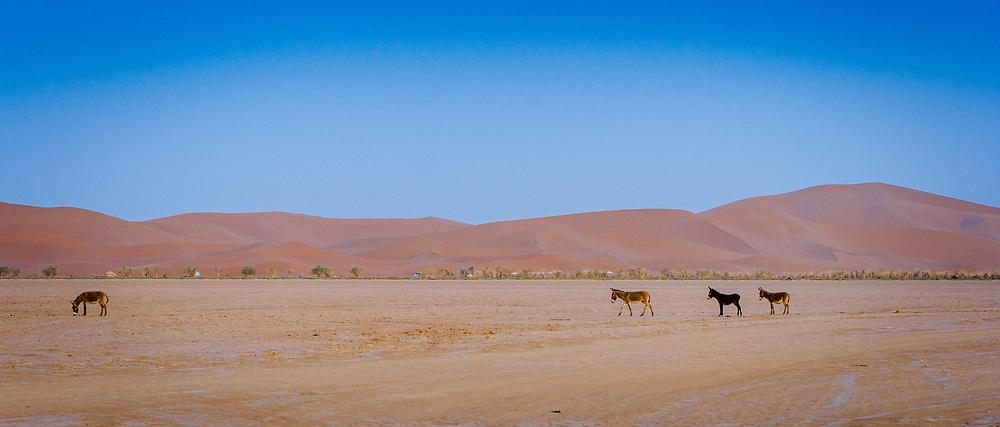 Donkeys roaming in the Moroccan Sahara Desert near Cheggaga in the early morning<br /> <br /> (c) Andrew Wilson   Edinburgh Elite media