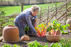 Carol Klein harvesting rhubarb into a basket in spring