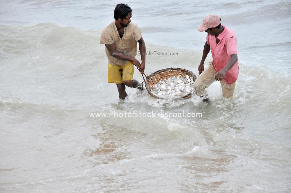 Negombo Fish market, Sri Lanka. Fishermen carry the fish back to shore