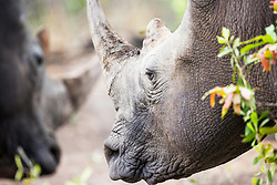 Two Rhinos, Sabi Sands Game Reserve South Africa