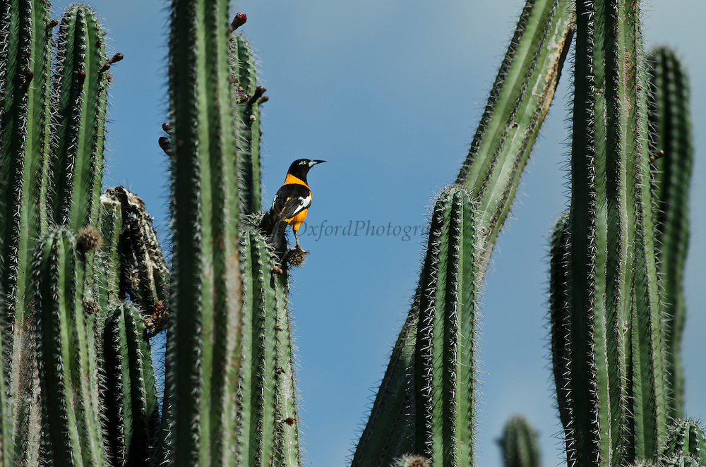Troupial (Icterus icterus) on Cactus<br /> BONAIRE, Netherlands Antilles, Caribbean<br /> HABITAT & DISTRIBUTION: It is found across South America east of the Andes, from Colombia, Venezuela and the Guianas down to Argentina. This bird can also found on Aruba, Bonaire Puerto Rico and Curaçao.