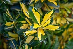 Euonymus japonicus Exstase syn. 'Goldbolwi'