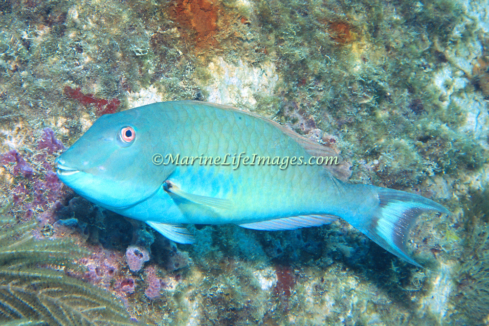 Redtail Parrotfish commonly in shallow areas of coral rubble and seagrass, occasionally on reefs, scrape filamentous algae from hard substrates in Tropical West Atlantic; picture taken Grand Cayman.