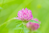 Sometimes the beauty is in the details. This delicate and stunning red clover was photographed in a field full of wildflowers and bees on a late spring morning just south of Seattle, Washington. As an early European export for feeding animals, this member of the pea family is now found growing wild in nearly all parts of North America.