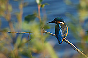 Kingfisher on a branch between some trees at Shapwick Heath in Somerset, UK.