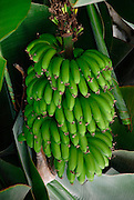 Young unripe bananas
